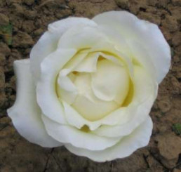 Rosa ´Climbing Virgo´ / Ruža popínavá biela, krík, BK