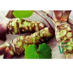 Wasabia japonica ´Mephisto® Red´ / Wasabi / Japonský chren, K12