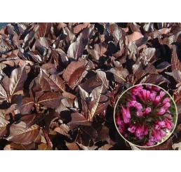 Weigela florida ´Alexandra´® / Vajgélia kvetnatá, 30-40 cm, C1,5