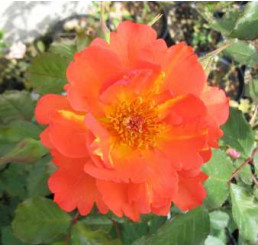 Rosa ´Westerland Orange´ / Ruža popínavá, krík