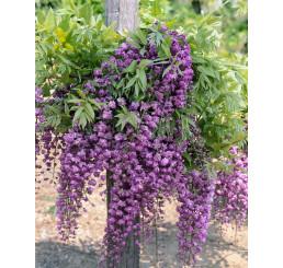 Wisteria sinensis ´Violacea Plena´ / Vistéria fialová, C2