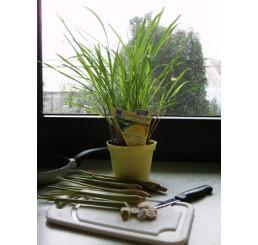 BIO Cymbopogon citratus / Citrónová tráva, K12