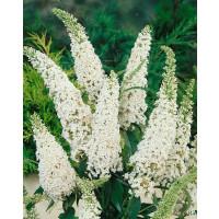 Buddleia davidii ´White Bouquet´ / Budleja biela, 40-50 cm, C1