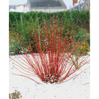 Cornus alba ´Sibirica´ / Svíb biely, 40-50 cm, C2