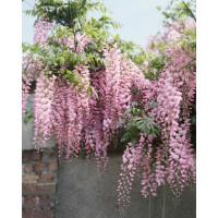 Wisteria floribunda ´Rosea´ / Vistéria mnohokvetá, 80-100 cm, C2