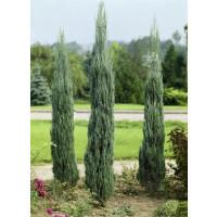 Juniperus scopulorum 'Skyrocket' / Borievka, 50-70 cm, C2