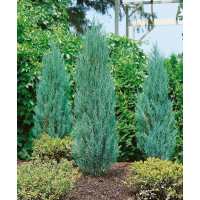 Juniperus scopulorum ´Blue Arrow´ / Borievka Modrý šíp, 20-30 cm, K9