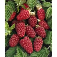 Rubus fruticosus ´Tayberry Buckingham´ / Malinočernica, 40-60 cm, K11