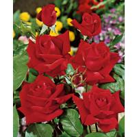 Rosa ´Sophia Loren´ / Ruža čajohybrid červená, krík, BK