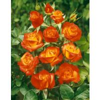 Rosa ´Rumba´ / Ruža mnohokvetá červenožltá, krík, BK