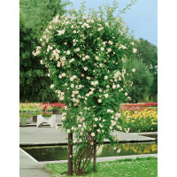 Rosa ´Ilse Krohn Superior´ / Ruža popínavá, krík, BK