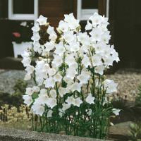 Campanula persicifolia ´Alba´ / Zvonček broskyňolistý biely, K9