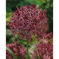 Allium christophii / Okrasný cesnak, bal. 5 ks, 12/14