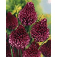 Allium ´Sphaerocephalon´ / Okrasný cesnak, bal. 10 ks, 6/+