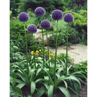 Allium aflatunense / Okrasný cesnak, bal. 5 ks, 12/+