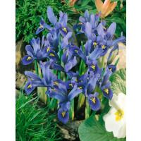 Iris reticulata ´Joyce´ / Skalkový kosatec, bal. 15 ks, 6/+
