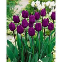 Tulipa ´Recreado´ / Tulipán, bal. 5 ks, 11/12