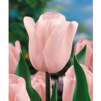 Tulipa ´Douglas Bader´ / Tulipán, bal. 5 ks, 11/12