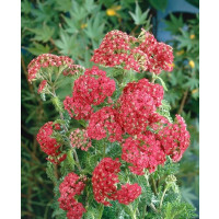 Achillea millefolium ´Cerise Queen´ / Červený rebríček, K9