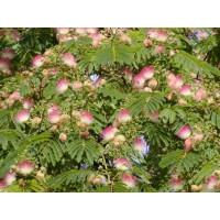 Albizia julibrissin ´Rosea ´/ Fialová albízia, 60-80 cm, C3