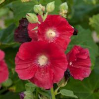 Alcea rosea Mars Magic / Topoľovka červená, C1,5