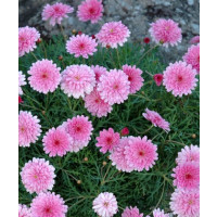 Argyranthemum ´Double Pink Honeybees´® / Chryzantémovka ružová, K7