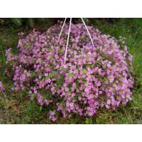Bacopa ´Copa Cherie´® / Bakopa ružová, bal. 6 ks sadbovačov