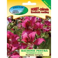 Bauhinia variegata / Bauginia pestrá ´Orchideový strom´, bal.3 s. - bonsaj tip