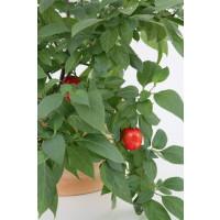 BIO Capsicum pubescens / Peruánske stromové čili papričky, K12