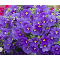 Calibrachoa ´Celebration® Indigo´ / Mnohokvetá petúnia, bal. 3 ks, 3x K7