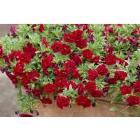 Calibrachoa Sweet Bells® ´Double Red´ / Minipetúnia, bal. 3 ks, 3xK7
