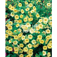 Calibrachoa ´Million Bells Lemon 2000´® / Petúnia, bal. 6 ks, 6x K7
