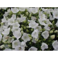 Campanula carpatica ´Clips White´ / Zvonček karpatský biely, K9