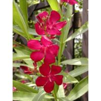 Nerium oleander ´Dark Red´ / Oleander tmavočervený, 20 cm, K9