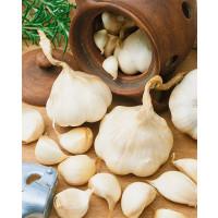 Allium sativum ´Flavor´ / Kuchynský cesnak jarný, 250 g
