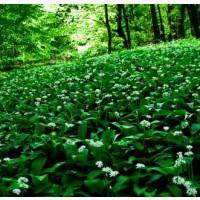 Allium ursinum / Cesnak medvedí, K9