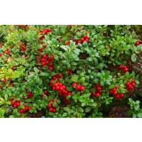 Vaccinium vitis-idaea ´Runo Bielawskie´/ Brusnica pravá, 10-15 cm, K9
