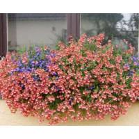 Diascia ´Doortje Pink Elfjes´ / Diascia ružová, bal. 3 ks, 3xK7