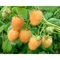 Rubus idaeus ´Golden Everest´ / Malina žltá, 80-100 cm, K11