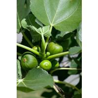 Ficus carica ´Dalmatia´ / Figovník, 40-60 cm, K13