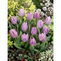 Tulipa ´Candy Prince´ / Tulipán, bal. 5 ks, 11/12