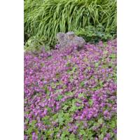 Geranium cantabrigiense ´Cambridge´ / Pakost tmavoružový, K9
