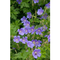 Geranium himalayense ´Johnson's Blue´  - Pakost, K9