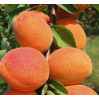 Prunus armeniaca ´Goldrich´ / Marhuľa stredne skorá, Adesoto