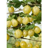 Ribes grossularia ´Lady Sun´ / Egreš rezistentný žltý, krík, C2