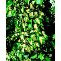Hedera helix ´Gold Heart´ / Brečtan, 60-80 cm, C1,5