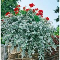 Helichrysum petiolare ´Silver´ / Helichrysum, bal. 3 ks, 3x K7