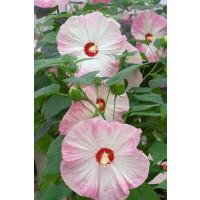Hibiscus moscheutos ´Nippon Blush F1´ / Ibištek bahenný  ružový, K9