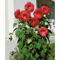 Hibiscus moscheutos ´Nippon Red F1´ / Ibištek bahenný červený, C2