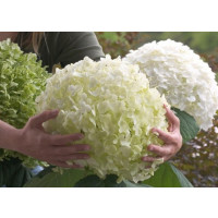 Hydrangea arborescens ´Strong Annabelle´® / Hortenzia, 20-30 cm, C2